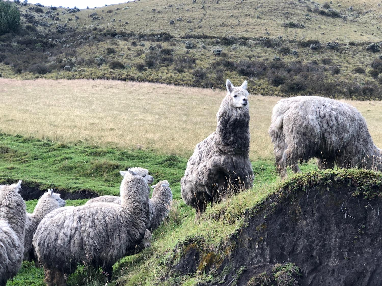 Cayambe mountain and llamas