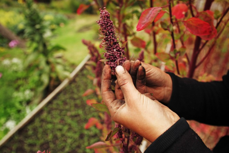 Gardening classes and quinoa growing at Stanford Inn