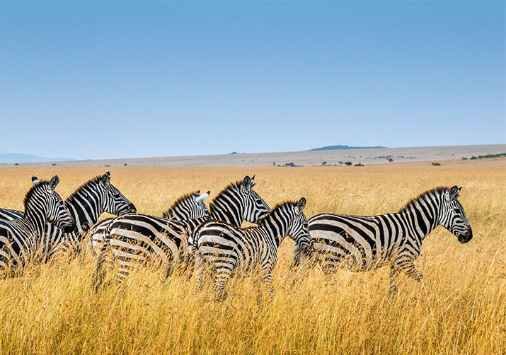 Shows Zebras on African Savannah